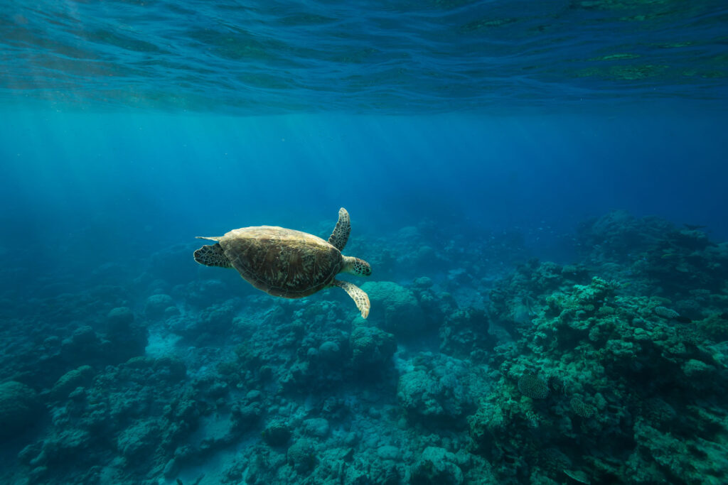 Budget Great Barrier Reef Snorkel Trip Turtle