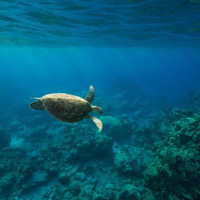 Budget Great Barrier Reef Snorkel Trip Turtle
