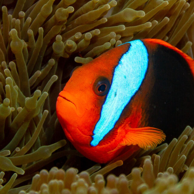 Nemo clownfish on a Budget Intro Scuba Dive Day Trip from Cairns