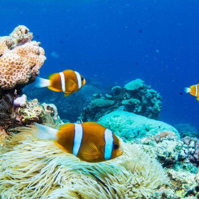 Clownfish, Certified Dive Port Douglas Day Trip