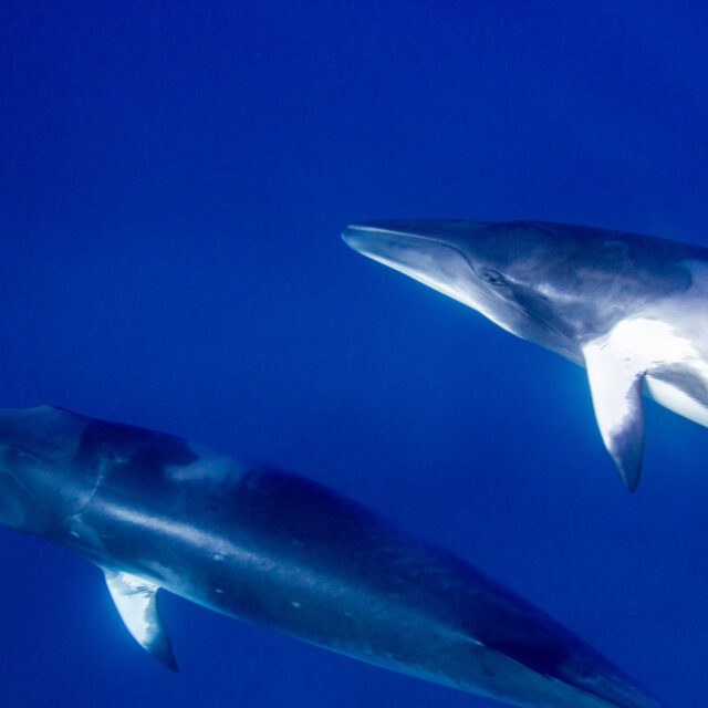 Dwarf Minke whales, Great Barrier Reef