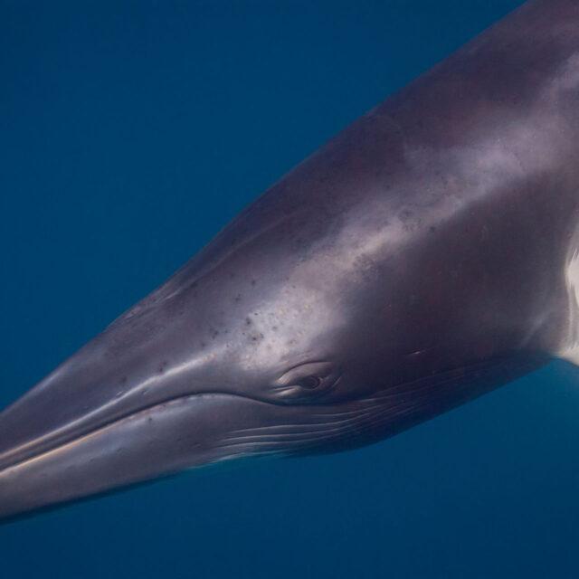 Minke Whale dive trip Cairns