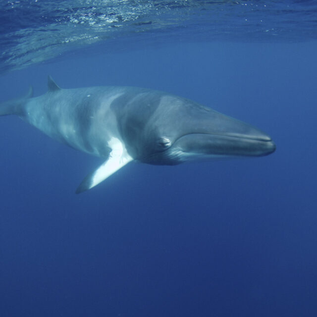 Minke whale interaction Great Barrier Reef