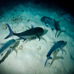 NIght Dive with Sharks Great Barrier Reef