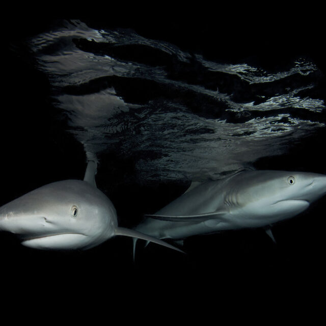 Reef Sharks Great Barrier Reef