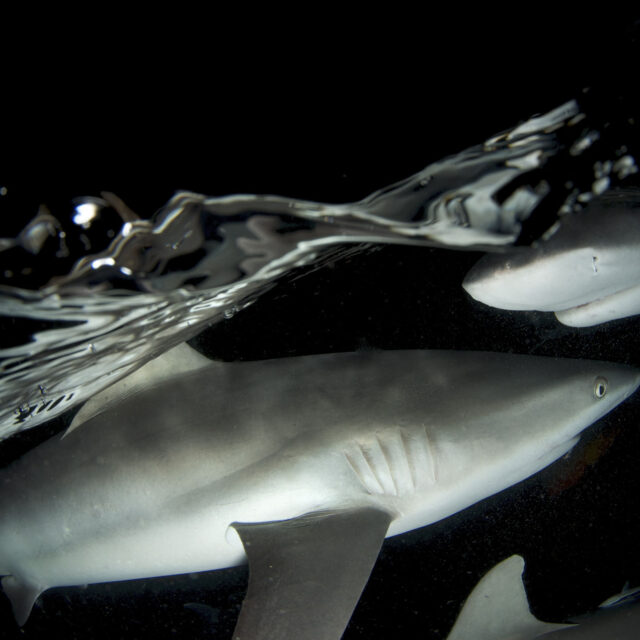 Sharks in the dark Night Dive