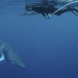 Snorkel with Minke whales Great Barrier Reef