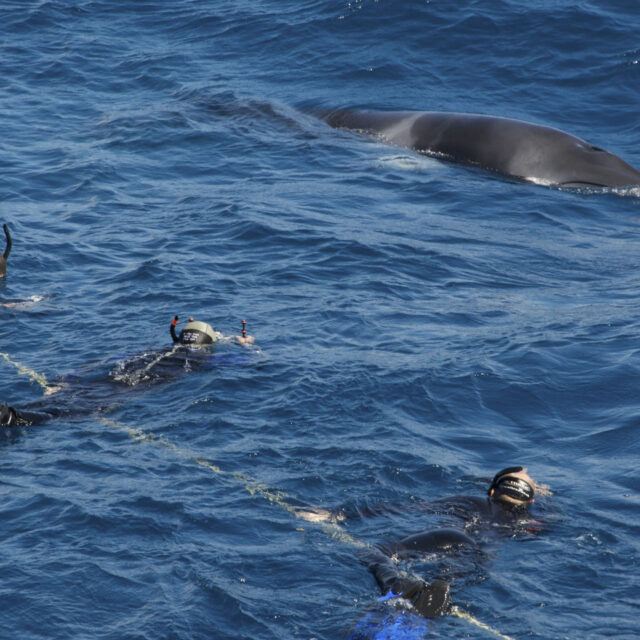 Snorkellers with Minke whales