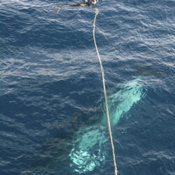 Snorkelling with Minke whales