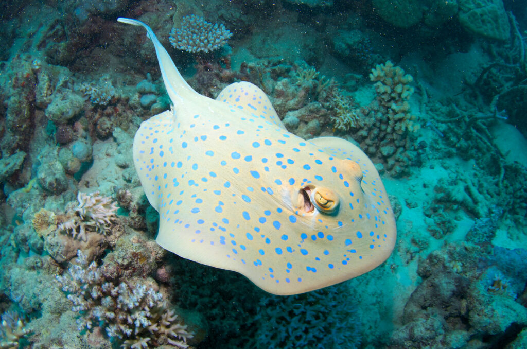 Blue Spotted Fantail Ray, Great Barrier Reef