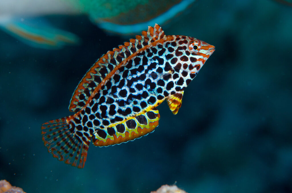 Leopard Wrasse, Great Barrier Reef