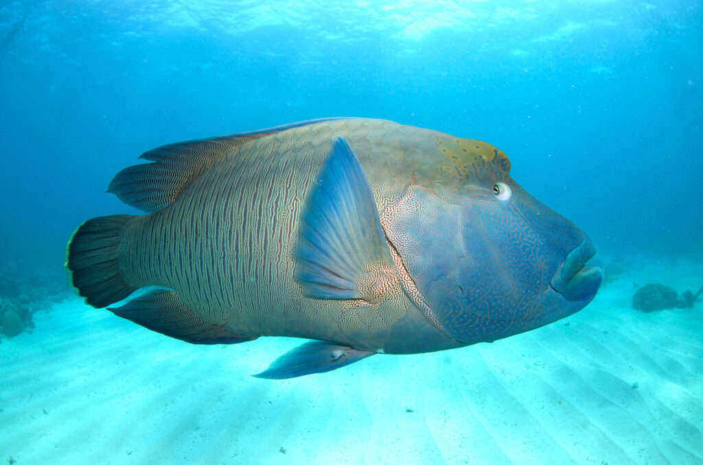 Maori Wrasse, Great Barrier Reef