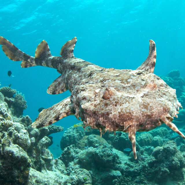 Wobbegong Shark, Great Barrier Reef