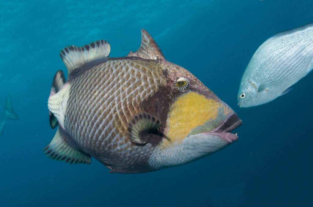 Titan Triggerfish, Great Barrier Reef