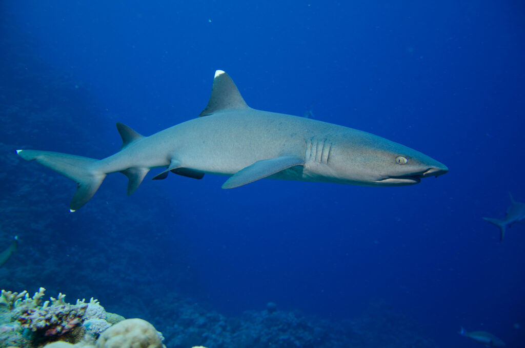 White Tipped Reef Shark, Great Barrier Reef